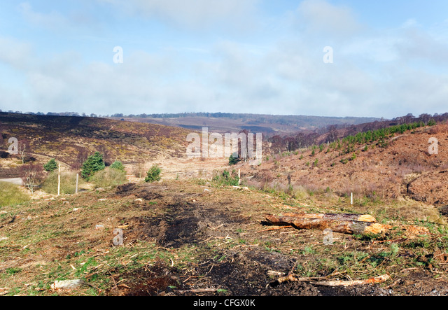 Deforestation Cannock Chase Country Park AONB (area of outstanding natural beauty) in Staffordshire England UK - Stock Image