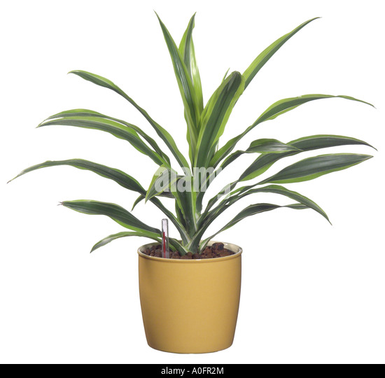 janet craig plant house html with Dracaena Fragrans 1264 on 6137260 together with IndoorPlantsCatalogue besides Dracaena Ja  Craig furthermore House Detox  mon Indoor Plants To besides Ja  Craig.