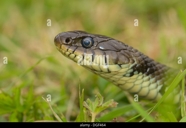 Close up of a grass snake head in the grass - Stock Image