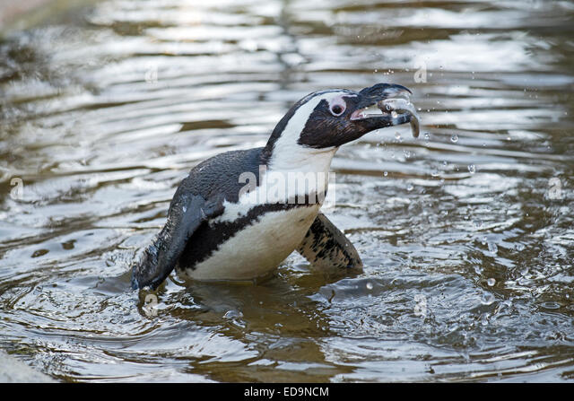 Penguin fish eating stock photos penguin fish eating for Penguin and fish