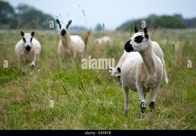"""swaledale black single women With its distinctive spiralled horns and black face with a white nose, it is a  common  """"sheep pasture"""", is recorded in documents dating back to the 12th  century."""
