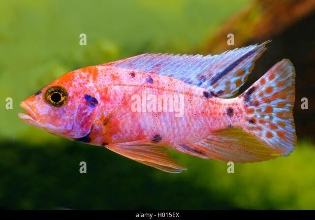 Zierfische fauna zoologie aquarienfische stock photos for Malawi buntbarsch