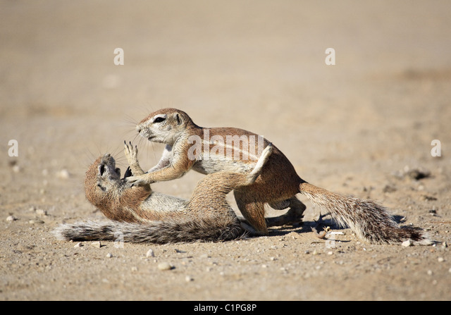 African ground squirrel - Stock-Bilder