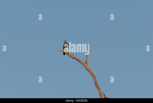 A Grey headed fish eagle in Kaziranga national park in Assam, India. - Stock Image