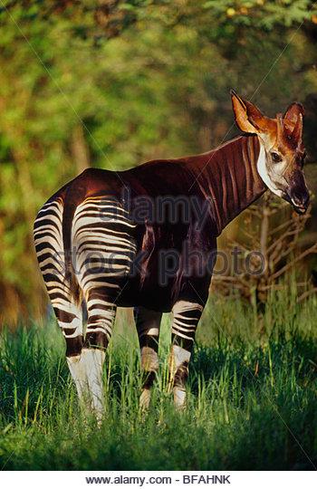 Okapi, Okapia johnstoni, Native to Central Africa - Stock-Bilder