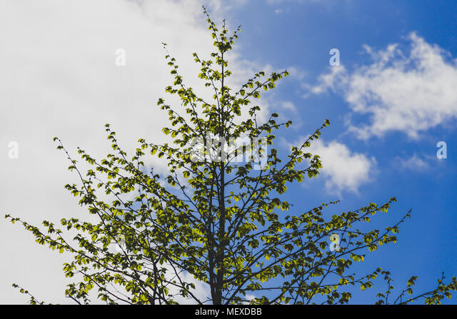tree with leaves coming out in early spring and half blue sky half overcast background behind it - Stock Image