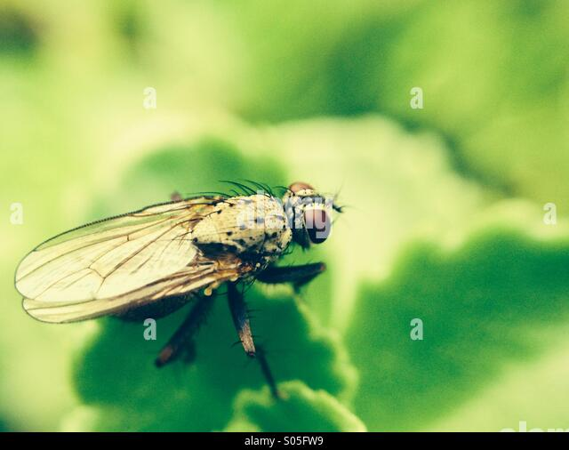 Close up of a fly - Stock Image