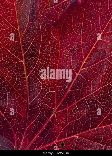 Macro close-up of leaf veins - Stock Image