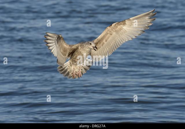 Herring Gull - Larus argentatus - Juvenile. - Stock Image