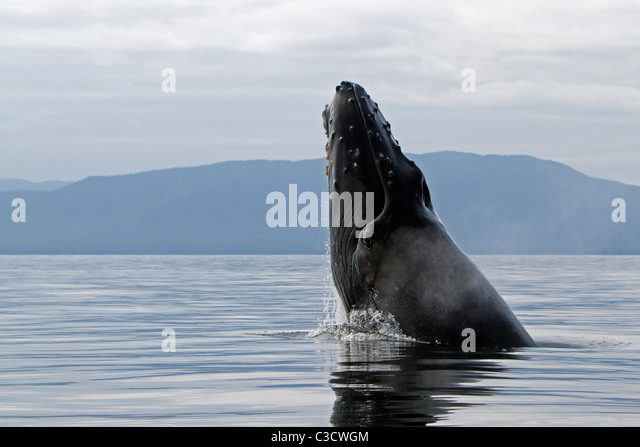 Humpback Whale (Megaptera novaeangliae), leaping into the air, rotating and landing on its back or side to create - Stock Image