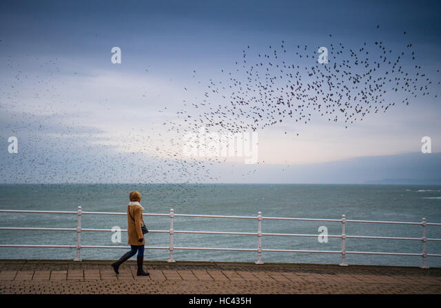 Aberystwyth Wales UK, Wednesday 07 December 2016UK Weather: On a grey overcast but  very mild December evening, - Stock Image