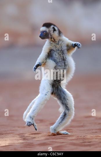 Verreaux's Sifaka (Propithecus verreauxi) dancing in Madagascar - Stock Image