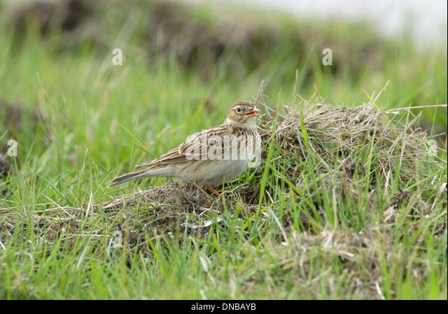 Skylark (Alauda arvensis) singing from a grassy tussock - Stock Image