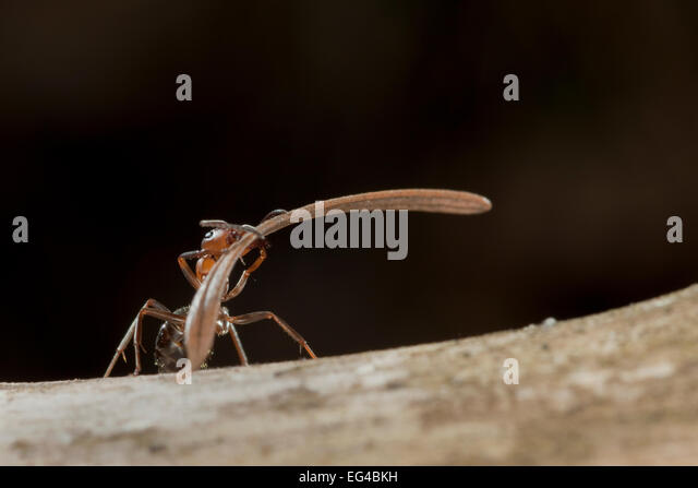 Red wood ant (Formica rufa) carrying construction material to anthill (fir needles) Germany. - Stock-Bilder