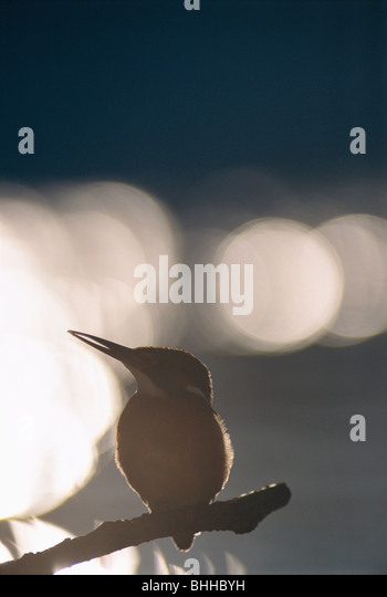 The silhouette of a kingfisher against the light, Poland. - Stock-Bilder