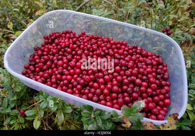 Freshly picked lingonberries food box as seen in the growth of lingonberries. Estonia. - Stock Image