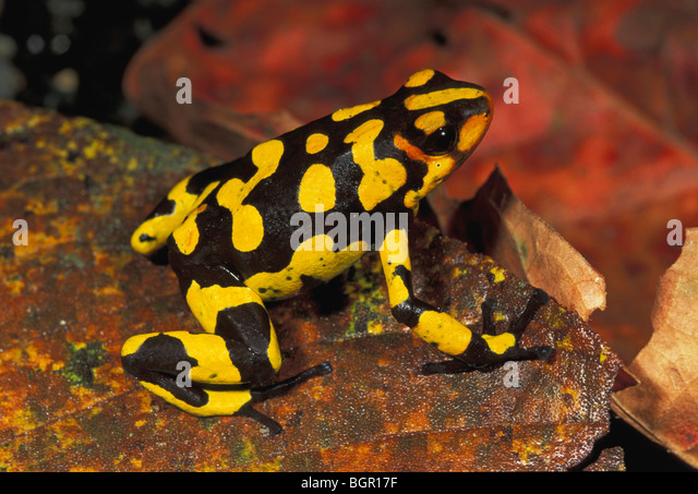 Harlequin Poison Frog (Dendrobates histrionicus), adult, Farallones de Cali, Colombia - Stock Image