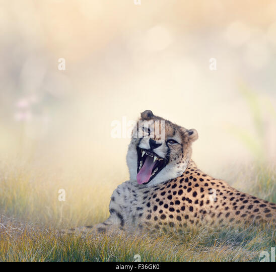Cheetah Resting on the Grass - Stock Image