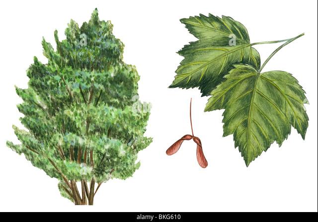 Rocky Mountain maple - Stock Image