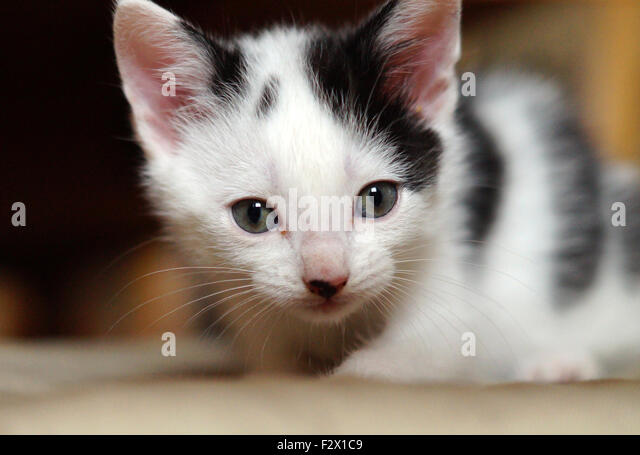 black and white kittens stock photos amp black and white