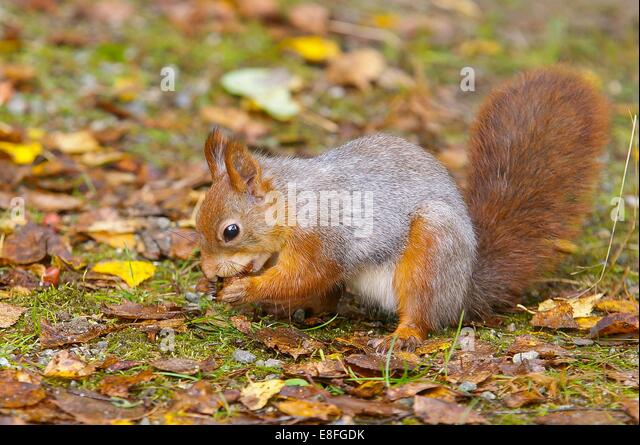 Squirrel eating nut - Stock Image