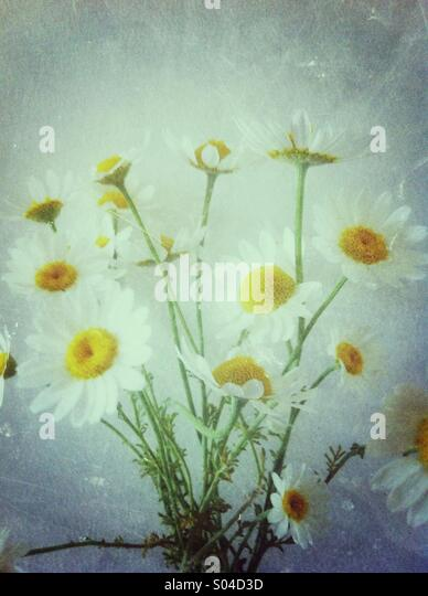 White daisy flowers - Stock Image