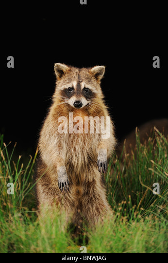 Northern Raccoon (Procyon lotor), adult at night standing on hind legs, Fennessey Ranch, Refugio, Coastal Bend, - Stock Image