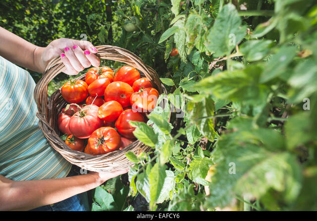 Picking tomatoes in basket. Private garden - Stock-Bilder