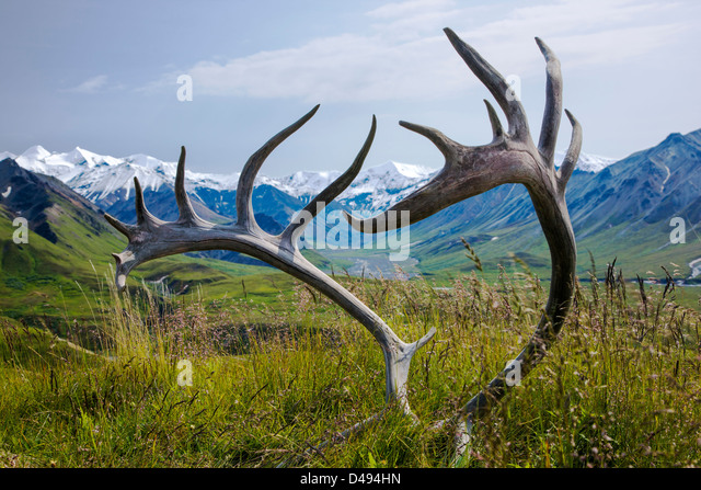View south of Alaska Range through old antlers of a Woodland Caribou (Rangifer tarandu), Eielson Visitor Center, - Stock Image