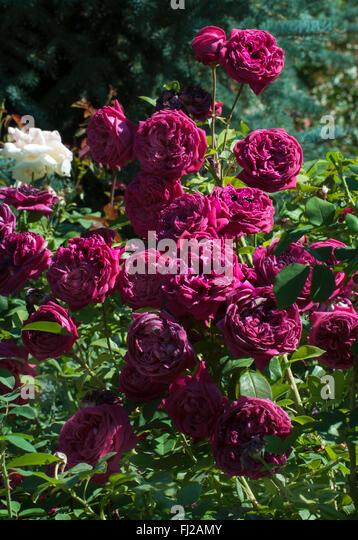 rose shrub stems stock photos rose shrub stems stock. Black Bedroom Furniture Sets. Home Design Ideas