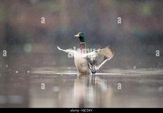 A male Mallard duck flaps its wings while sitting on the water in a spring rain. - Stock Image