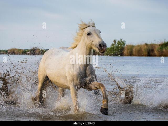 White Camargue Horse runs in the swamps nature reserve. Parc Regional de Camargue. France. Provence. An excellent - Stock Image