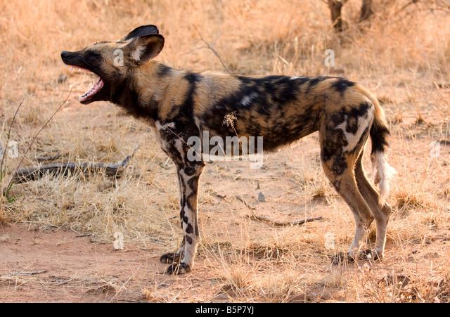 Wild dog,Etosha National Park,Numibia,Africa - Stock-Bilder