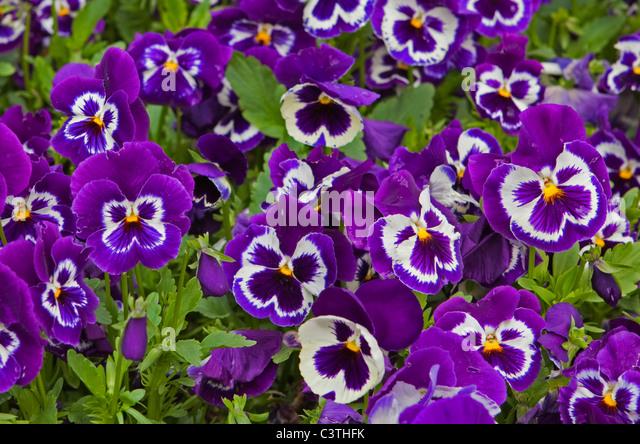 violets flowers purple stock photos  u0026 violets flowers