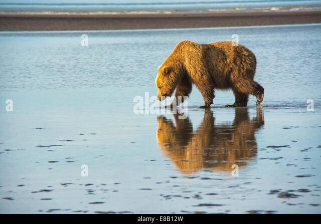 Adult Grizzly Bear, Ursus arctos, walking on the tidal flats of the Cook Inlet, Alaska, USA - Stock Image