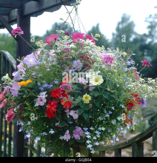 Hanging Basket - planted with Lobelia  Petunia  Impatiens  Verbena and Helichrysum   HBA077945     P - Stock Image