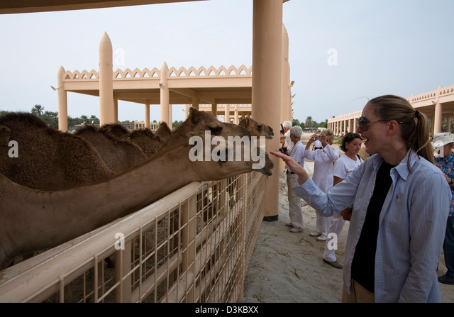 Al-Khalifa stables are open to the public and the younger camels in particular truly seem to thrive on the adoration - Stock Image