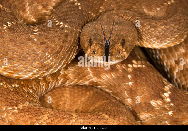 A Defensive Red Diamond Rattlesnake (Crotalus Ruber) - Stock-Bilder