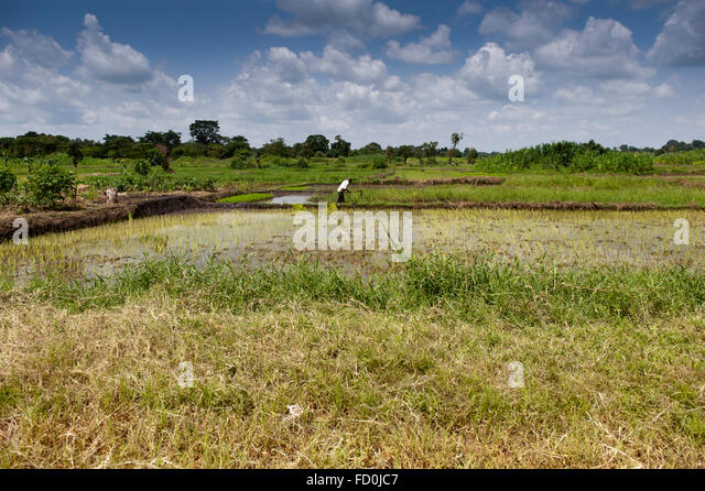 Paddy fields in western Uganda. - Stock Image