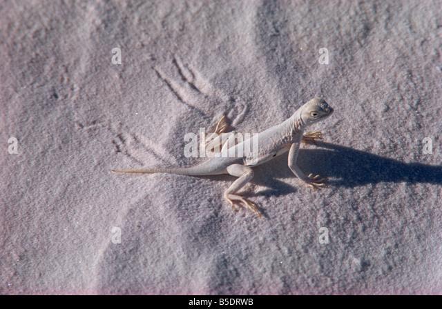 Lizard, White Sands, New Mexico, USA, North America - Stock Image