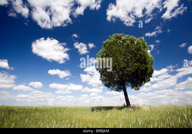 A tree in a wheat field, Sevilla, Spain - Stock Image