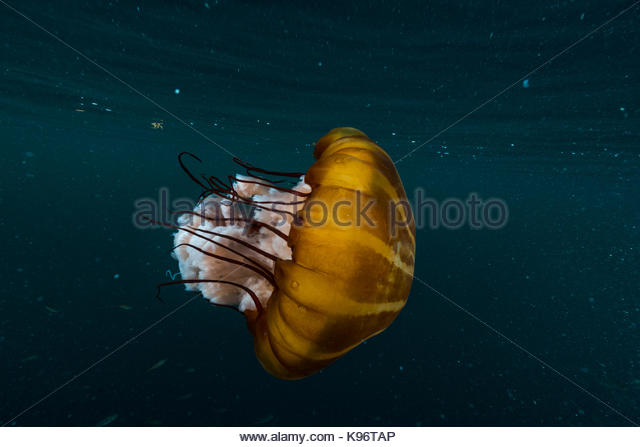 Jellyfish swimming underwater stock photos jellyfish for Tap tap fish light jellyfish