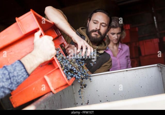 Two men unloading grapes into container in vineyard - Stock Image