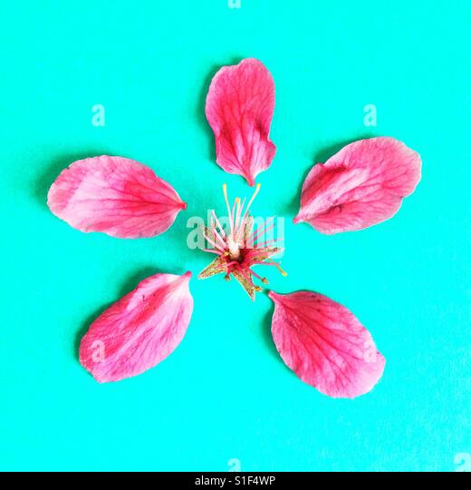A deconstructed crabapple blossom. - Stock Image