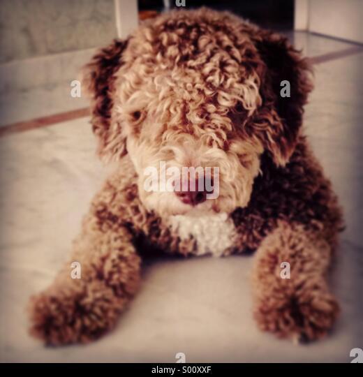 Spanish water dog, perro de agua español - Stock Image