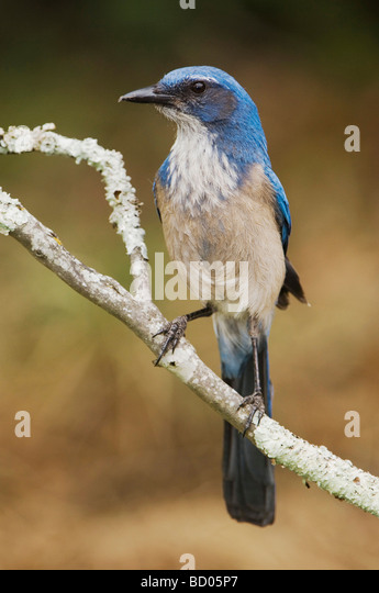 Western Scrub Jay Aphelocoma californica adult perched Uvalde County Hill Country Texas USA April 2006 - Stock-Bilder