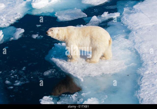 Polar bear (Ursus maritimus) on pack ice, Svalbard Archipelago, Norwegian Arctic - Stock Image