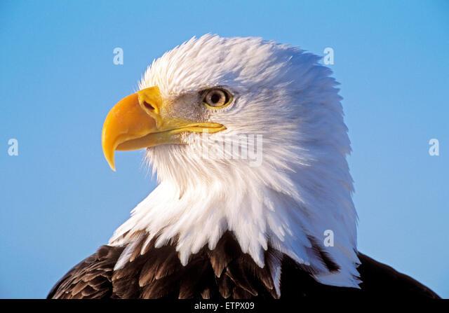 Head of mature Bald Eagle portrait closeup ( Haliaetetus leucocephalus) - Stock Image