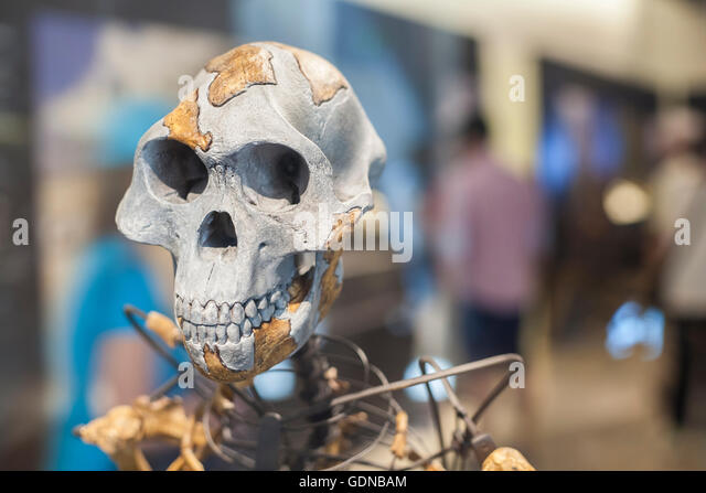 Lucy skeleton, a female of the hominin species Australopithecus afarensis - Stock-Bilder