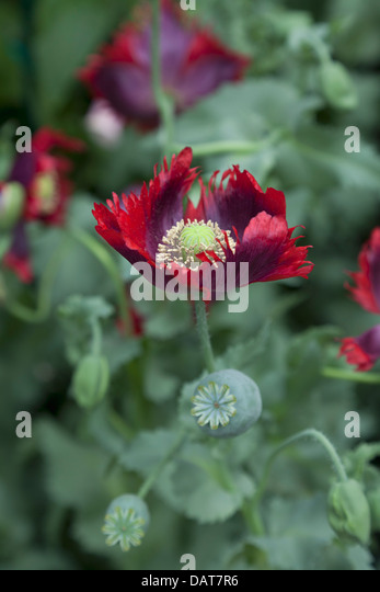 Papaver somniferum Drama Queen, lettuce leaved poppy - Stock Image